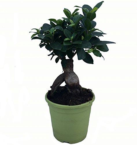 Bonsái Ficus Microcarpa - Maceta 13cm