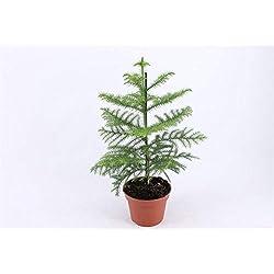 Zimmertanne (Araucaria heterophylla) tolle Zimmer und Büropflanze, (ca. 45cm hoch im 15cm Topf)