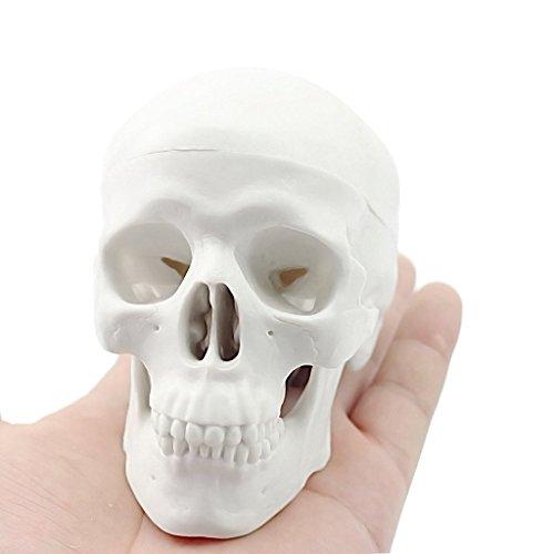 Osteopathie Schädel - Regenbogenland