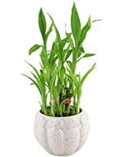 Real Nature 2 Layer Lucky Bamboo Plant in Ceramic Pot