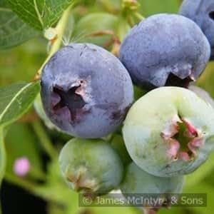 Blueberry Sunshine blau 3L