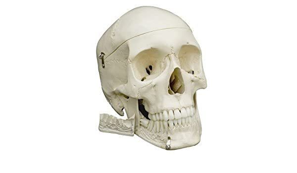 Ruediger Anatomie A220 Homo-Schädel Modell: Amazon.de: Gewerbe ...