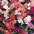 Wicken Winter-Elegance, Mischung, 25Samen von Nuts n' Cones - Du und dein Garten