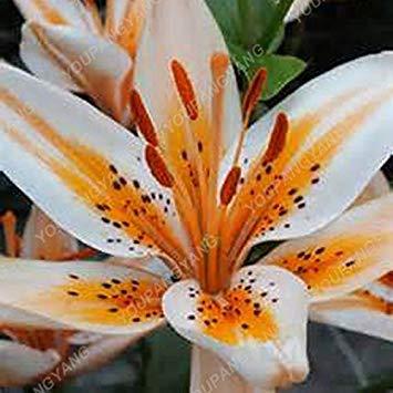 100 / sac blanc péruvien Lily Graines Lily Mix Pérou (Alstroemeria) Graines de fleurs vivaces pure pour les plantes Bonsai pour jardin Plum