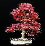 Vistaric Hausgarten Pflanzen Bonsai Tree Seeds Acer palmatum Dissectum Crimson Queen Samen Mini Japanische Rote Ahorn Samen Semillas Bonsai