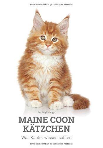 Maine Coon Kätzchen: Was Käufer wissen sollten