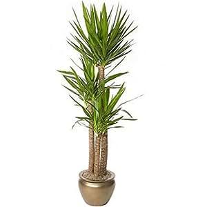 Vivai Le Georgiche Yucca