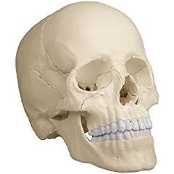 Erler-Zimmer–Cráneo Modelo, anatómica Acabado 22Piezas, Color: Natural