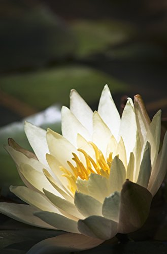 robert-l-potts-design-pics-water-lily-blooms-in-a-pond-astoria-oregon-united-states-of-america-photo