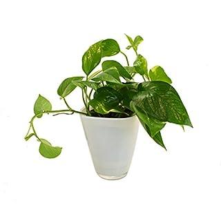 Dominik Blumen und Pflanzen, Efeutute ( Epipremnum) mit Dekotopf, weiß
