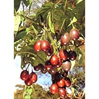 PLAT firma de SEMILLAS Tropica tropical tomate de árbol Tamarillo Cyphomandra betacea 100 semillas