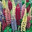 Pack X6 Lupin 'Russell Hybrids Mixed' Perennial Garden Plug Plants