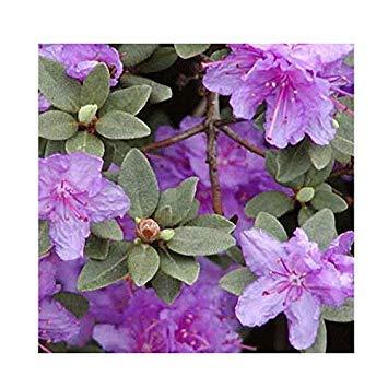 Shop Meeko Rhododendron Dwarf Hybrid 'Ramapo' 15cm Topf Größe