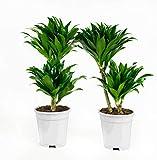 Dracaena fragans compacta | Plante dépolluante | 2 plantes | plante d'intérieur| hauteur 65 cm | Pot 17 cm | Entretien facile