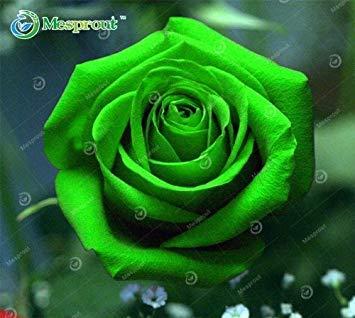 Fash Lady 18: 100pcs Blumensamen Holland-Rosen-Samen-Liebhaber-Geschenk-orange grüner Regenbogen-seltene 24CLOSE Farbe DIY Hauptgartenarbeit-Blume
