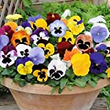Flower Seeds : Hybrid Pansy Flower Seeds – Mixed Multicolor Flower Seeds – Flower Seeds – Kitchen Garden Pack by Creative Farmer