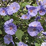 10 Abutilon Semi-Abutilon vitifolium indiano Malva, fioritura acero, in rapida crescita