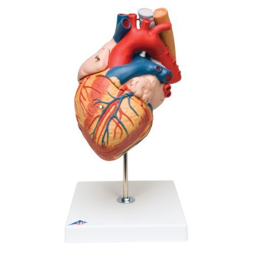 3B Scientific Heart with Oesophagus and Trachea 2 Times Life Size 5 Part by 3B Scientific