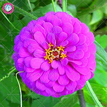 Véritable Zinnia elegans 50pcs Véritable fleur Bonsai Graines vivaces Facile Pour Cultivating balcon plantiation Garden Courtyard Potted 2
