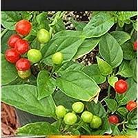 Fash Lady 10 Quintisho Red, SEMILLAS DE PIMIENTA CALIENTE - Capsicum Chinense - Desde Bolivia