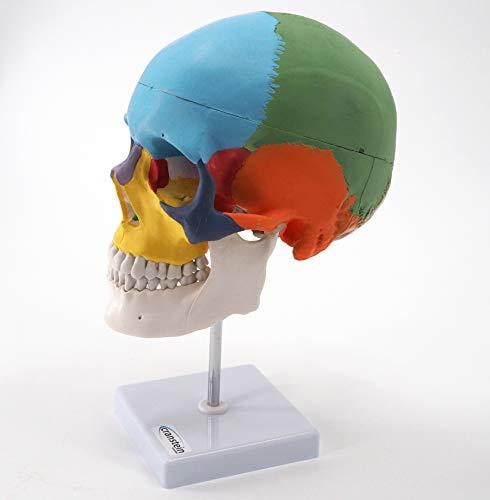 Zoom IMG-1 cranstein e 247 teschio anatomico