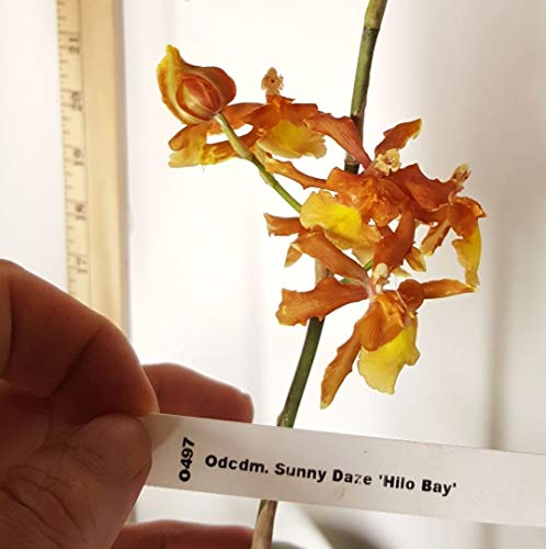 FARMERLY Bin Odcdm Sunny Daze Hilo y S400 Bio-Samen, 9 cm