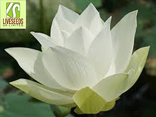 liveseeds-ciotola-di-loto-giglio-di-acqua-fiore-bonsai-lotus-stagni-5-semi-freschi-wide-loto-bianco