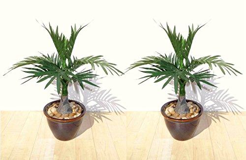 2 x Roystonea Palmeras (35cm) - Plantas Artificiales SIN MACETAS