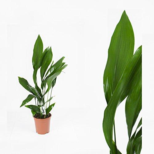 Inter Flower -1 Pflanzen Aspidistra ,Schusterpalme,Metzgerpalme,Schildblume 80cm +/- ,