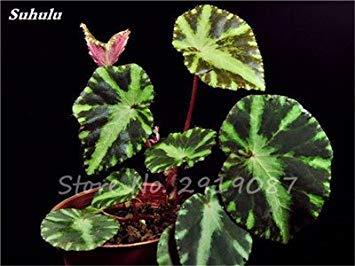 Janpanse Bonsai coleus Graines 50 Pcs Plantes feuillage couleur parfait arc Graines Belle Mixed Flower Garden plante Sement 12