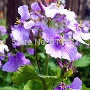 100 pcs / sac, graines Orychophragmus, balcon en pot, les saisons de plantation, de germination 95% livraison gratuite