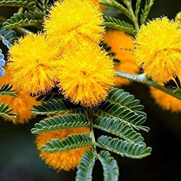 Goldener Mimosen-Baum-Samen (Acacia Baileyana) 20 + Seeds