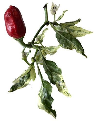 Fish Pepper Chili 10 Samen ***Schöne Pflanze mit Panaschiertem Laub***