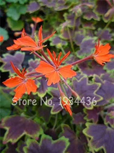 Plentree Samen Paket: 5 Beutel 10 Stück Pelargonium Peltatum Bonsai DIY Hausgarten s Indoor Hübsche Blume Topf Weihnachtsgeschenk: D (Blumen-topf Hübsche)
