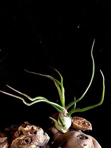Seltene Regenwald Tillandsien Bulbosa 2x Pflanzen