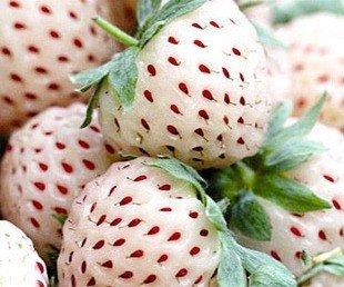 fraises-blanches-fraises-ananas-30-graines