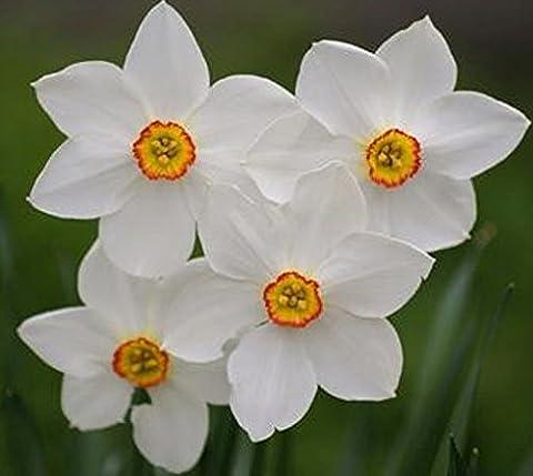 Sycamore Trading DAFFODIL PHEASANT'S EYE x 10 Bulbs. The Poet's Daffodil. Usually the last daffodil to bloom.