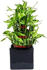 Exotic Green Indoor Plant 3 Layer Bamboo in Black Ceramic Pot