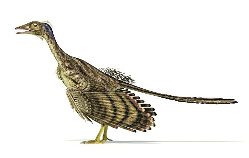 Leonello Calvetti/Stocktrek Images – Archaeopteryx dinosaur on white background. Photo Print (90,42 x 57,40 cm)