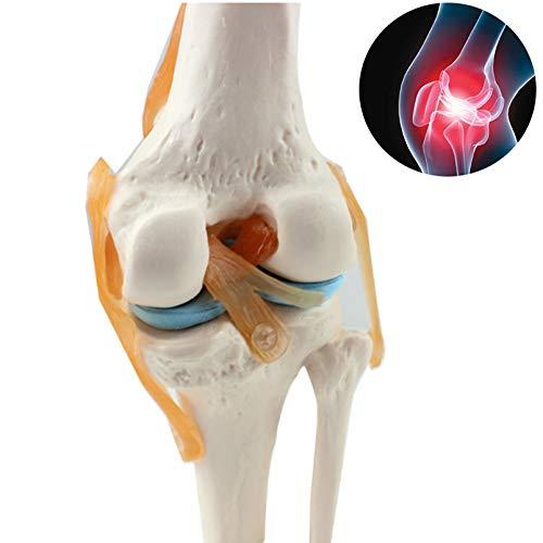 Anatomie Modell Knee,1:1 Menschliches Skelett Lernmodellkniemodell,Skelett Modell Anatomiefür Medizinische Ausbildungshilfe