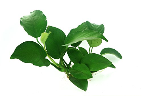 Dennerle Anubias barteri 'Broad Leaf' - Live Aquarium Plant - EU Grown & Shrimp Safe 2
