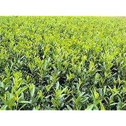 "Kirschlorbeer Prunus laurocerasus""Caucasica"" T.B. 11 30-40 cm 50 Stück"