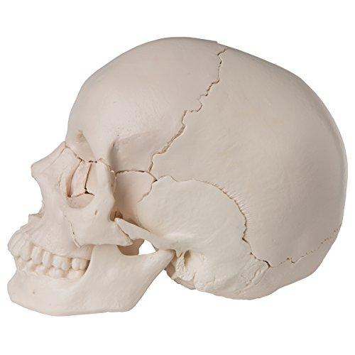 Zoom IMG-2 3b scientific a290 cranio scomponibile
