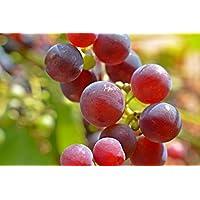 Weintrauben Rose dicke kernlose Beeren, 1 kg Packung