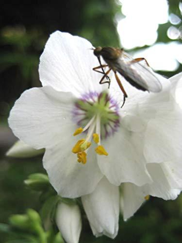 SONIRY Seeds Pacakge NUR Nicht Pflanzen: + Polemonium PearlPearl Jakobsleiter Blume Mix/Peren