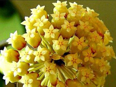 Vente chaude 2016 20 Couleurs rares graines de hoya Graines de fleurs 50pc/pack Bonsai Graines Maison & Jardin Livraison gratuite 6