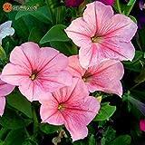 VISTARIC Gelb: Hot 20 Farben 300 Hydrangea Samen/bag Hydrangea Blumensamen Geranien Balkon Hortensie Innenpflanzensamen Topf