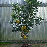 Shop Meeko Croce Comune Nursery agrumi arancio 120 centimetri standard