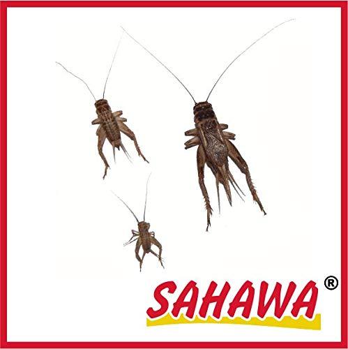 SAHAWA Lebendfutter Heimchen groß 2X 40 Stück in spezieller Winterverpackung + Geschenk gratis, lebende Futtertiere, Reptilienfutter, Heuschrecken, Heimchen, Grillen - Große Grillen