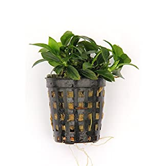 Dennerle Anubias Nana Bonsai - Live Aquarium Plant - EU Grown & Shrimp Safe 8